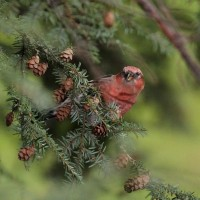 The crossbill often perched precariously as it consumed the seeds (Photo by Anna Fasoli)