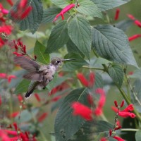 Calliope Hummingbird &#8211; PA&#8217;s 2nd State Record!