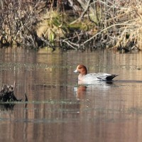 Eurasian Wigeon - adult male at Mill Pond, NY (Photo by Alex Lamoreaux)