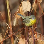 East Shore Park, CT – Late warblers and other goodies!