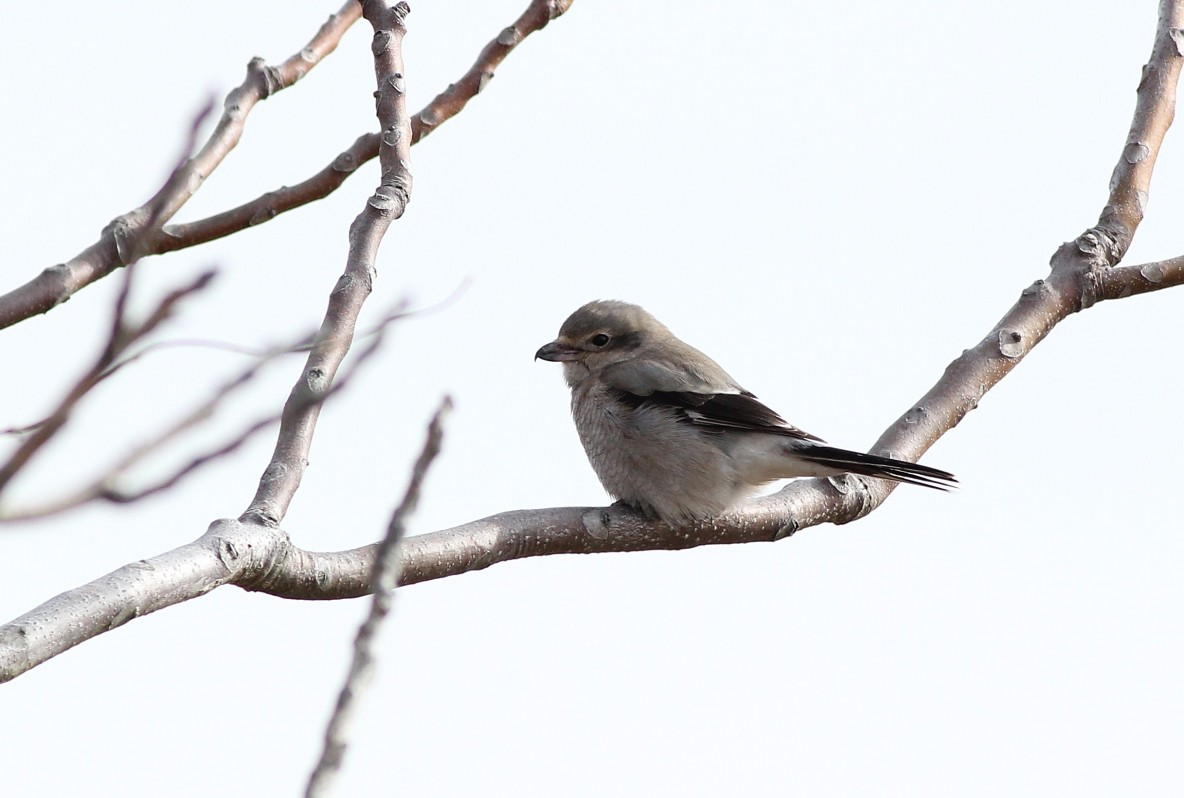 Immature Northern Shrike at Lighthouse Point Park, CT. (Photo by Alex Lamoreaux)