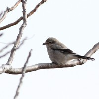 Lighthouse Point Park, CT – Shrike, Snow Buntings, and a Red-shoulder