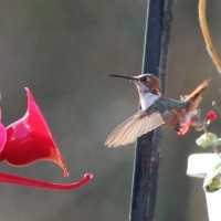 Allen&#039;s Hummingbird in Bucks County, PA. PA&#039;s 3rd state record. (Photo by Alex Lamoreaux)