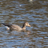 Greater White-fronted Goose - adult at Dorney Pond, Lehigh County, PA. (Photo by Alex Lamoreaux)