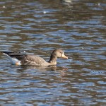 Greater White-fronted Goose and 14 Lesser Black-backed Gulls–Lehigh County, PA