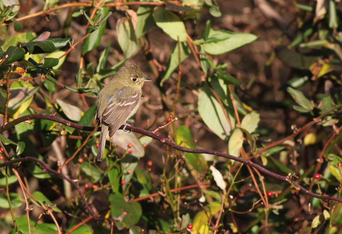Pacific-slope Flycatcher - 2nd PA state record (Photo by Alex Lamoreaux)
