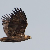 Eagles come by very close to the watch site, this is what makes the Allegheny Front a great place to see Golden Eagles in the fall!!