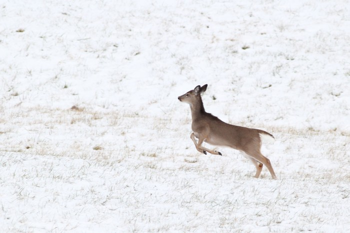 A White-tailed Deer that ran out of some brush we were searching for sparrows in. (Photo by Alex Lamoreaux)