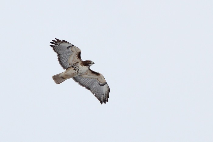 One of 6 Red-tailed Hawks we saw. (Photo by Alex Lamoreaux)