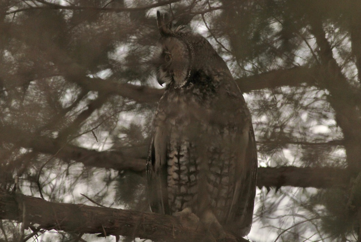 One of two Long-eared Owls that were roosting together in a cedar grove. (Photo by Alex Lamoreaux)