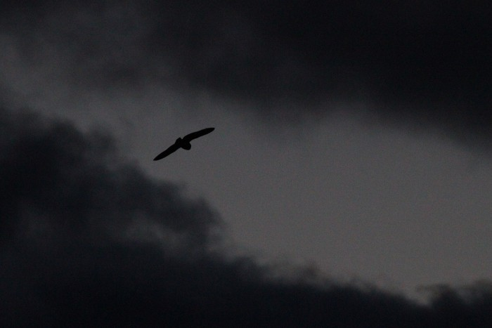 One of five Short-eared Owls we saw flying around at dusk! (Photo by Alex Lamoreaux)