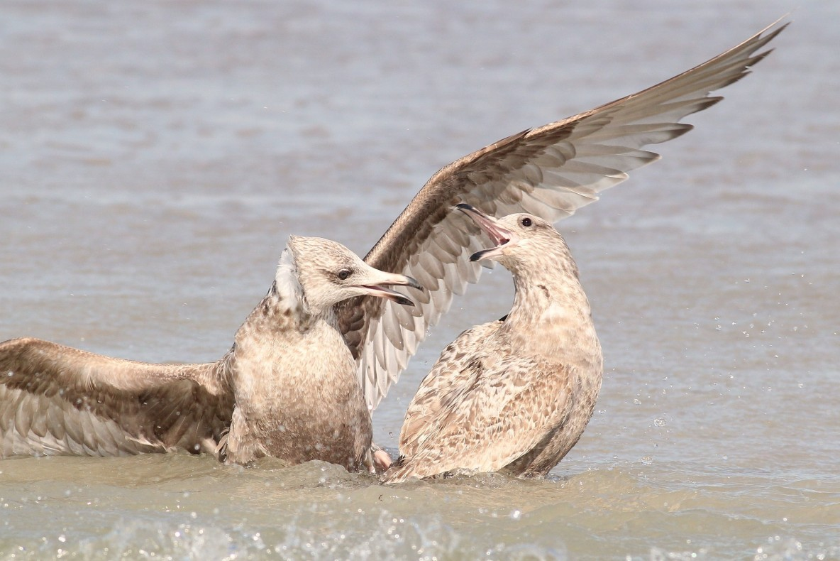The two gulls fought in the water, but the original finder of the cloth was able to defend it well. (Photo by Alex Lamoreaux)