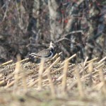 Northern Lapwing – Bridgewater, Massachucetts