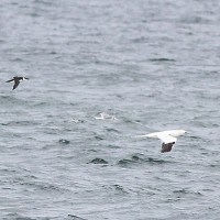A photo that really sums up our time at Race Point Beach - Razorbill, kittiwake, and gannet. (Photo by Alex Lamoreaux)