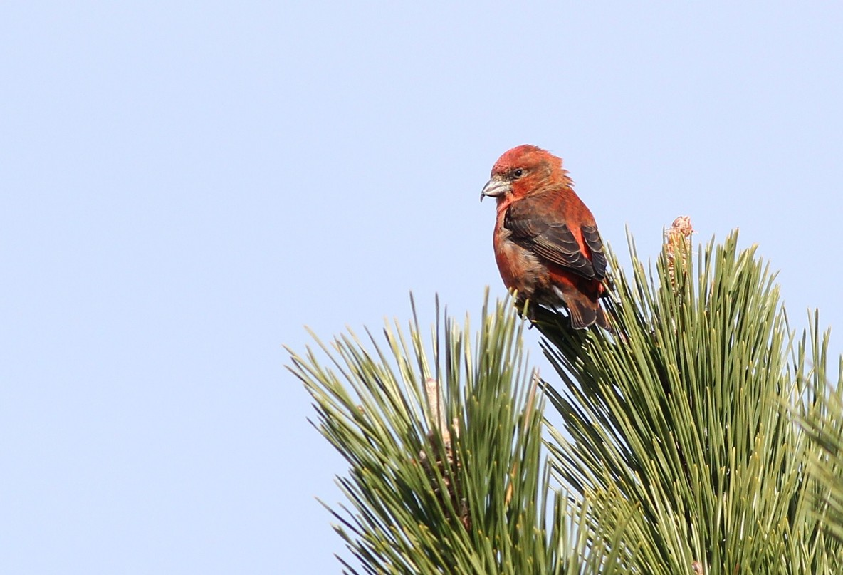One of 12 Red Crossbills (a male) foraging in a Japanese Black Pine at Hammonasset SP. (Photo by Alex Lamoreaux)