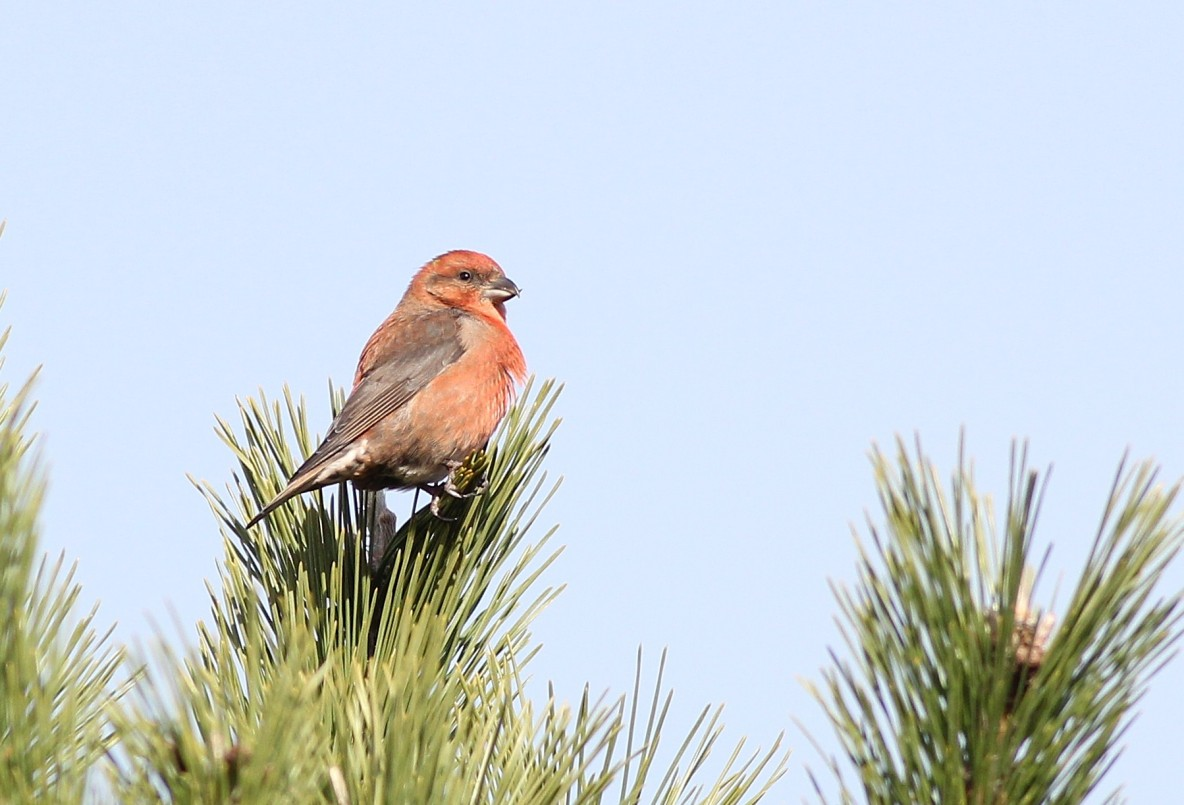 Red Crossbill foraging in a Japanese Black Pine at Hammonasset SP. (Photo by Alex Lamoreaux)