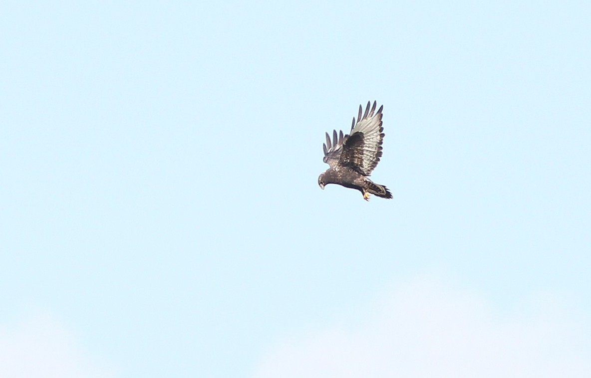 A dark type adult Rough-legged Hawk hovering near Taylor Hill Rd. (Photo by Alex Lamoreaux)