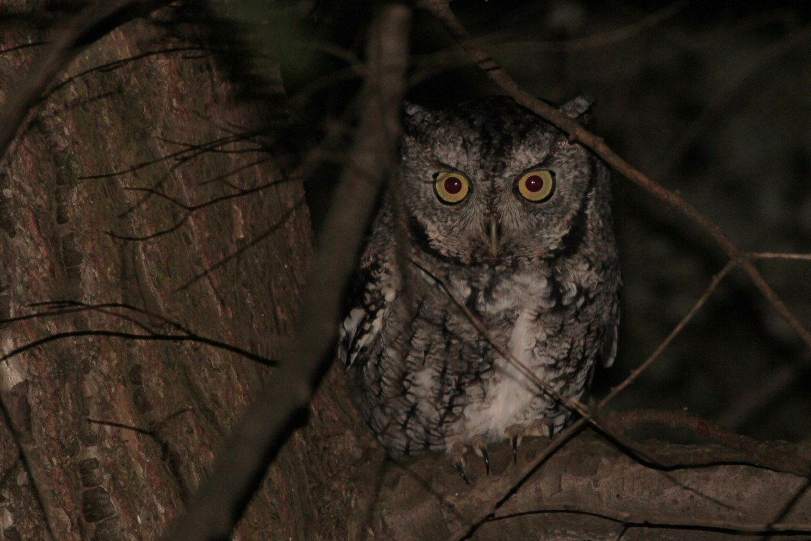 Eastern Screech-Owl - photo by Alex Lamoreaux