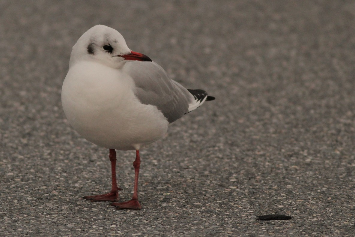 Black-headed Gull - Adult at Hunt Valley Town Center, Maryland (Photo by Alex Lamoreaux)