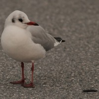 Black-headed Gull – Hunt Valley, MD