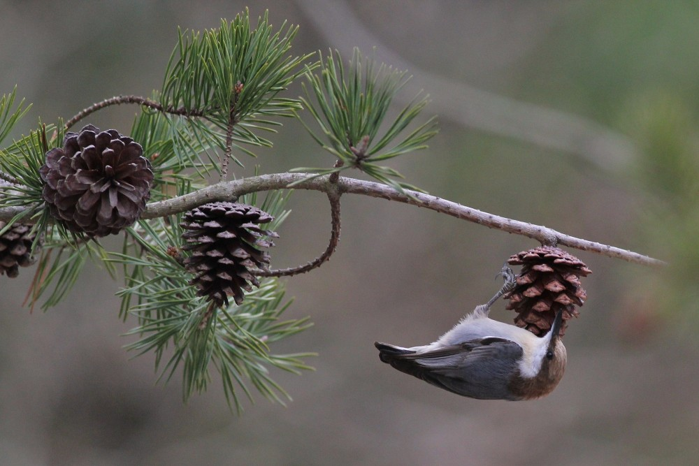 Brown-headed Nuthatch at Cape Henlopen SP. (Photo by Alex Lamoreaux)