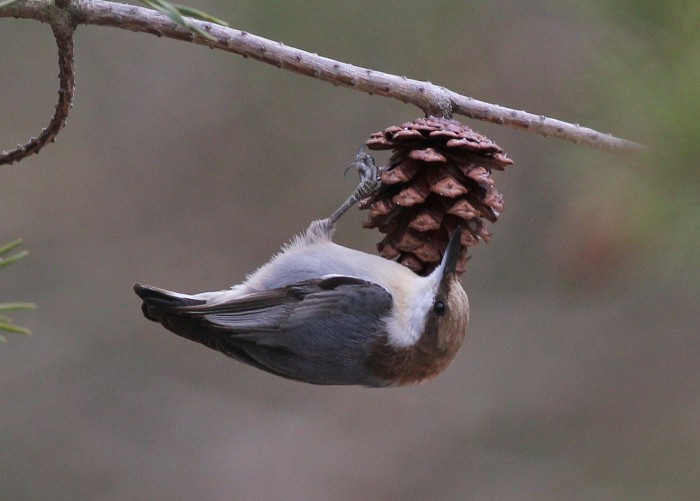 Brown-headed Nuthatch in Delaware (Photo by Alex Lamoreaux)