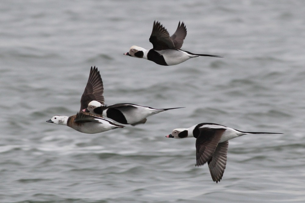 A flock of Long-tailed Ducks flying in to Indian River Inlet. (Photo by Alex Lamoreaux)