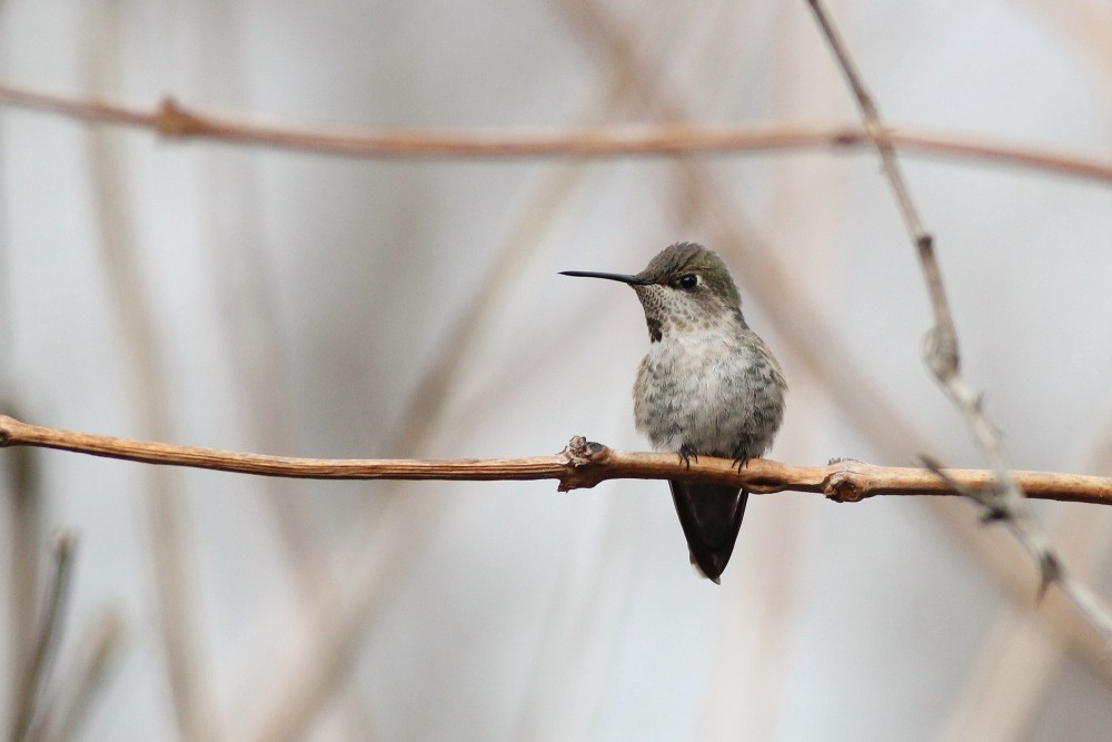 Anna's Hummingbird in Newark, DE. (Photo by Alex Lamoreaux)