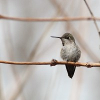 Delaware&#8217;s 1st Anna&#8217;s Hummingbird!