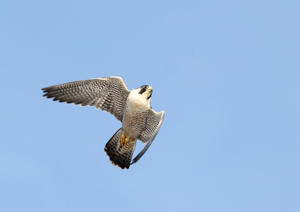 An adult female Peregrine in hot pursuit of another Peregrine that had captured a meal in its territory! (Photo by Alex Lamoreaux)