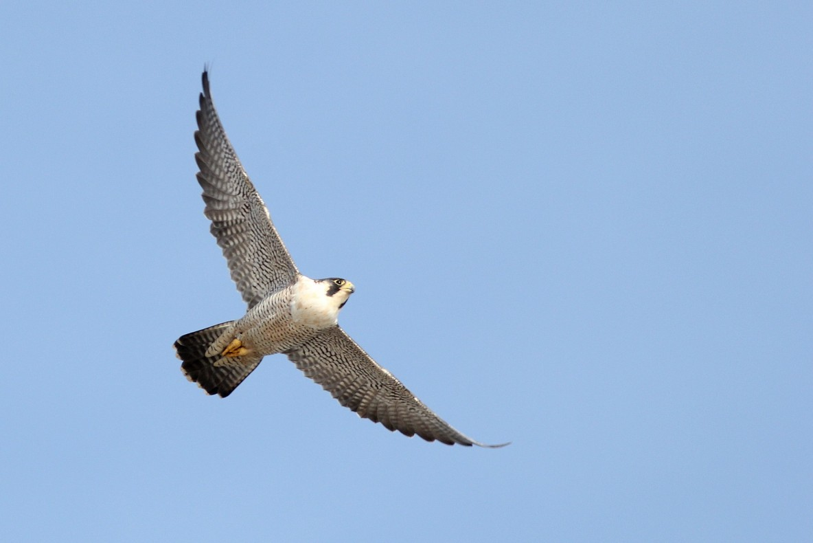 The Peregrine has always been one of my favorite birds, and to have one fly past us this close was unbelievable! (Photo by Alex Lamoreaux)