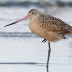 Photo Study: Marbled Godwit