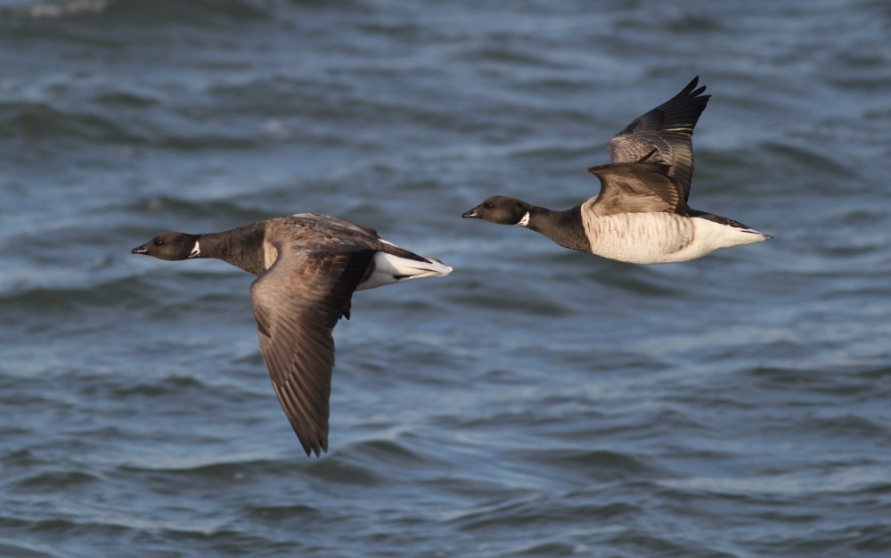 Two Brant flying past, in Cape May Harbor. (Photo by Alex Lamoreaux)