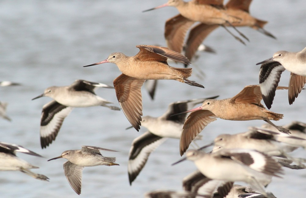 Marbled Godwit flying with 'Western' Willet and a Short-billed Dowitcher - January in New Jersey (Photo by Alex Lamoreaux)