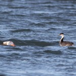 Cape May's Weird Grebe