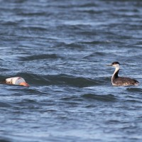 Western Grebe and its buoy in Cape May Harbor. (Photo by Alex Lamoreaux)