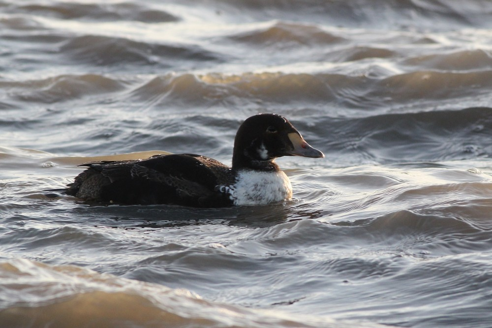 Immature male King Eider at Cape May Point. (Photo by Alex Lamoreaux)