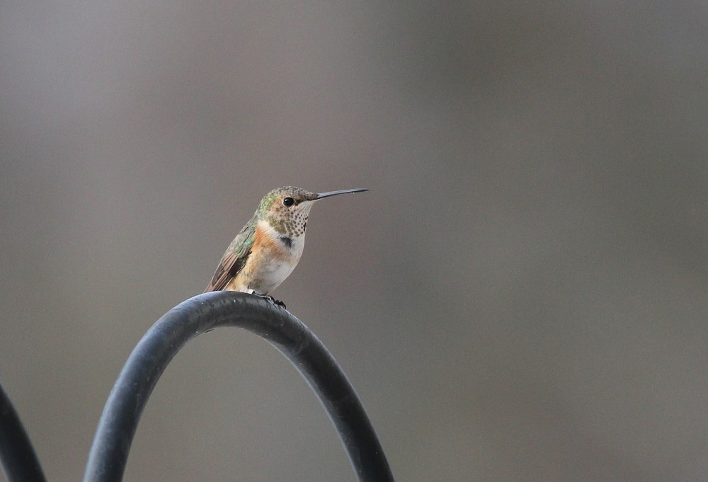 Immature female Rufous Hummingbird in Juniata County. (Photo by Alex Lamoreaux)