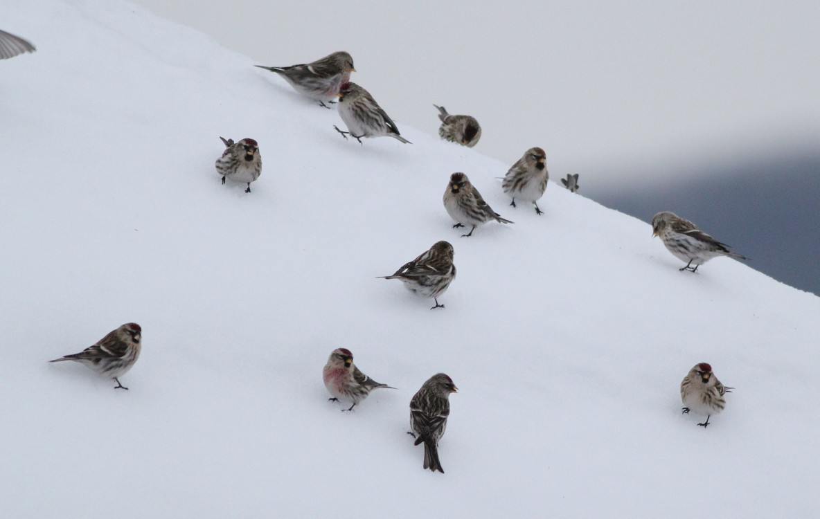 14 Common Redpolls on the roof of the Nature Inn. (Photo by Alex Lamoreaux)