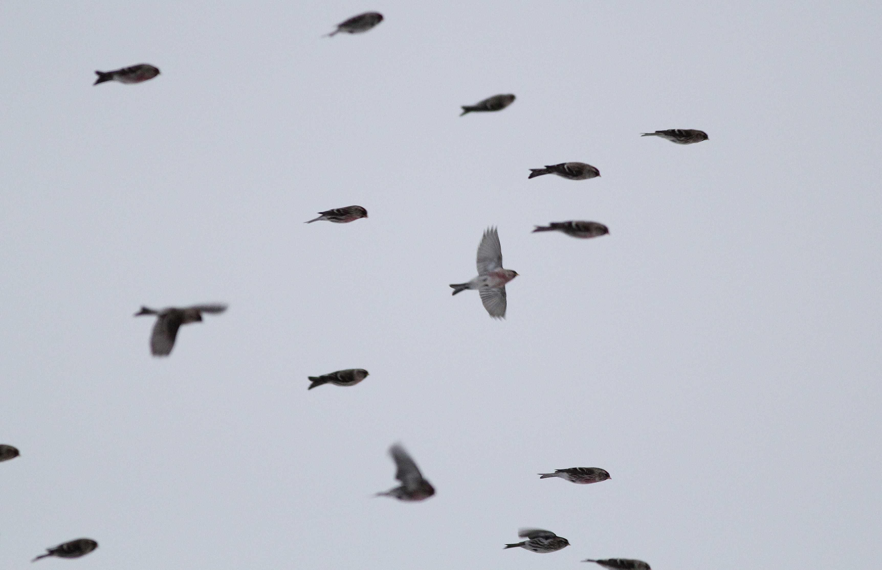 Redpolls in flight. (Photo by Alex Lamoreaux)