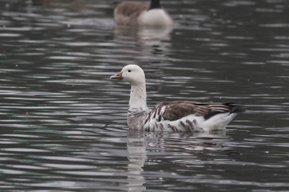 Snow Goose X Canada Goose hybrid at Dorney Pond. (Photo by Alex Lamoreaux)
