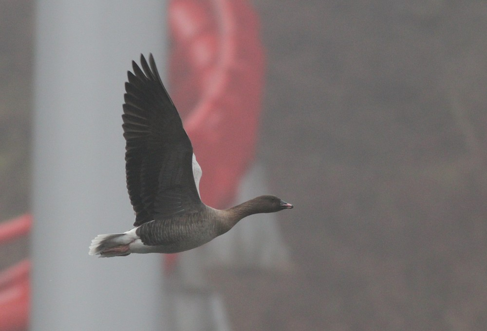 The adult Pink-footed Goose leaving Dorney Pond for the morning. (Photo by Alex Lamoreaux)