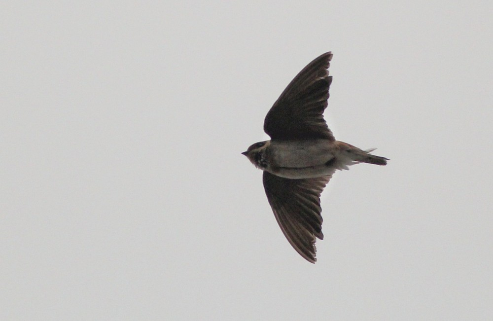 One of 3 over-wintering Cave Swallows at the NE Philly Water Treatment Plant. (Photo by Alex Lamoreaux)