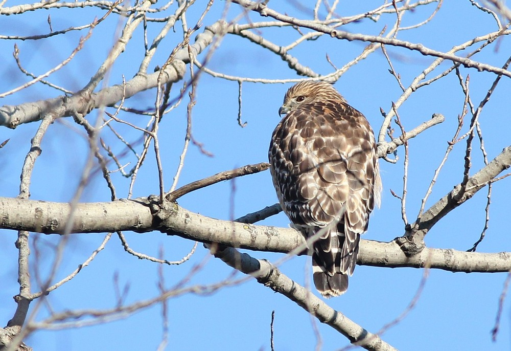 Adult Red-shouldered Hawk at Palmyra Cove. (Photo by Alex Lamoreaux)