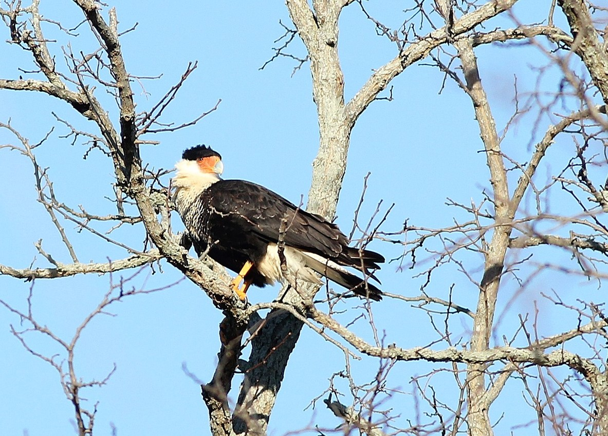 The Crested Caracara surveying Cape May Court House. (Photo by Alex Lamoreaux)