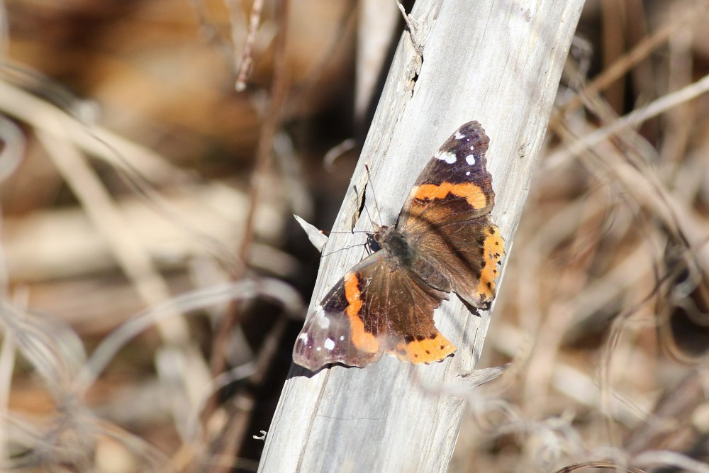 A worn, ratty, bird-bitten Red Admiral tries to warm up on a cool January morning. (Photo by Alex Lamoreaux)