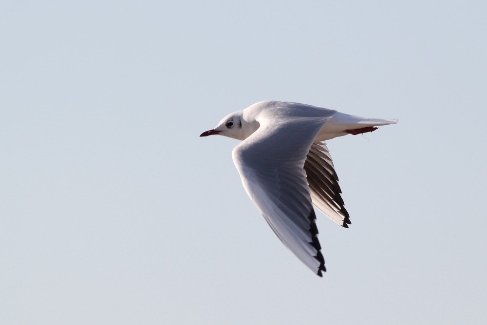 Busily foraging among the shorebirds was fun, but flying down the beach for some free popcorn sounded even better to the gull - offering me a nice flyby photo opportunity! (Photo by Alex Lamoreaux)