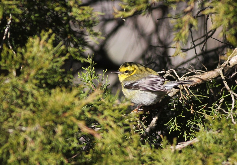 Sure there are a few unfortunately-placed shadows on the bird, but it's still a stunning (and rare) Townsend's Warbler! (Photo by Alex Lamoreaux)