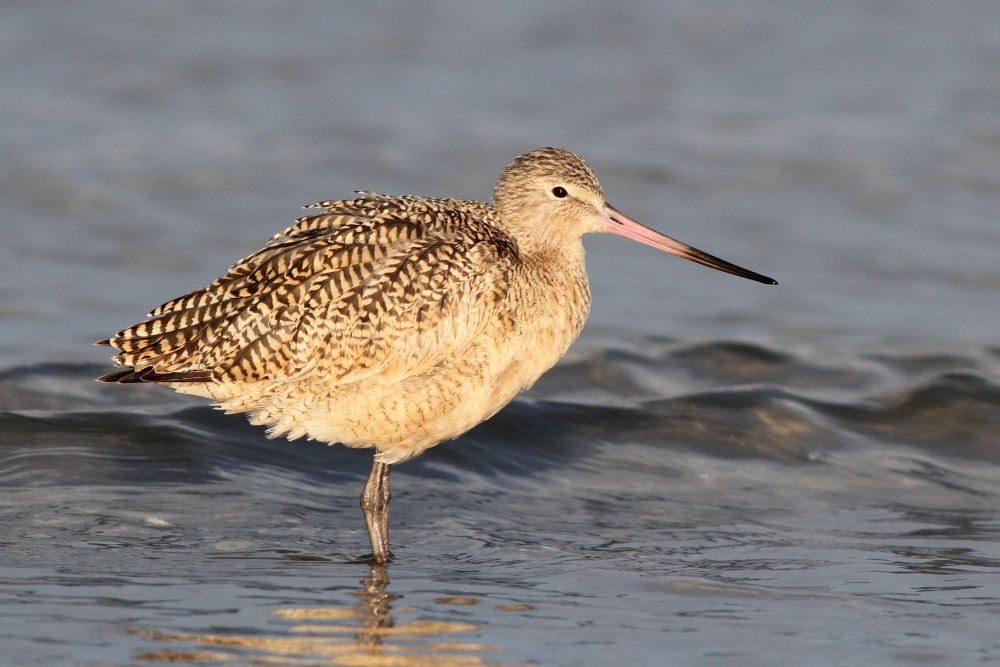 Marbled Godwit - January in New Jersey (Photo by Alex Lamoreaux)