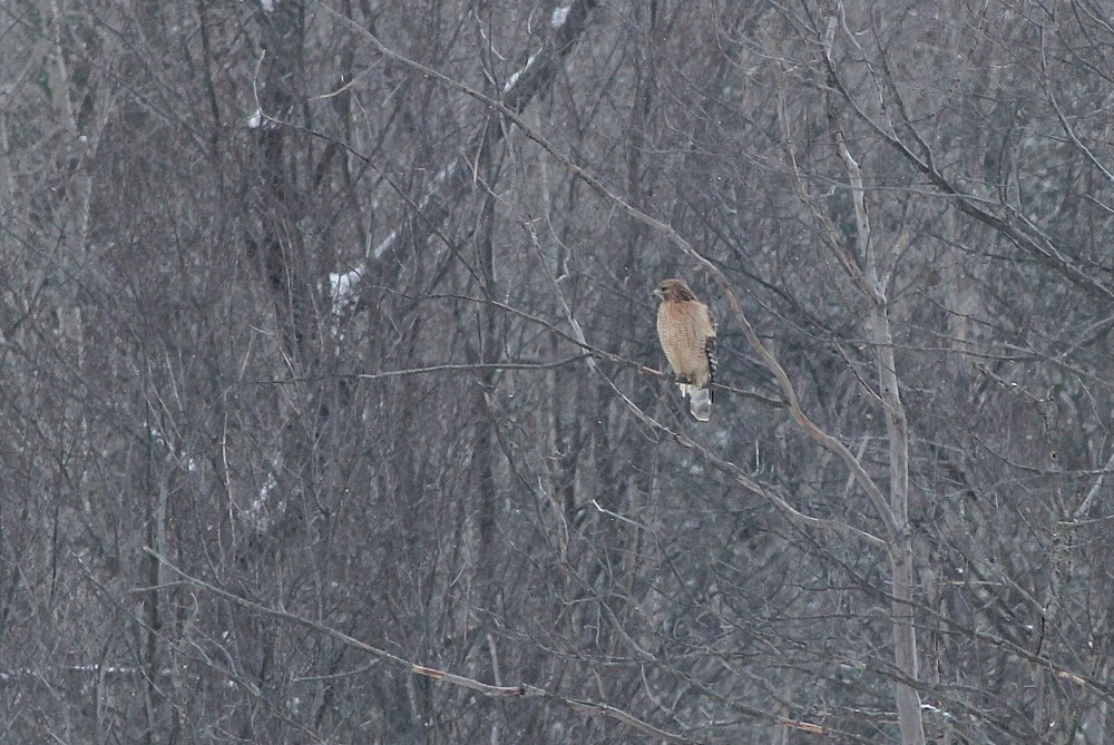 Our first raptor of the day was this adult Red-shouldered Hawk! (Photo by Alex Lamoreaux)